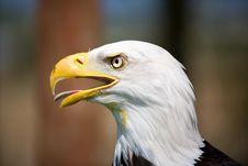 Free Bald Eagle Stock Photo - 3092530