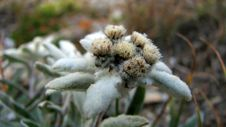 Free Edelweiss Royalty Free Stock Image - 3092556