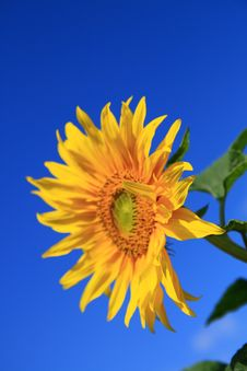Free Sunflower Royalty Free Stock Image - 3092616