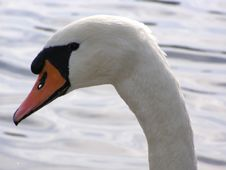 Free Portrait Of Swan Stock Photography - 3093012