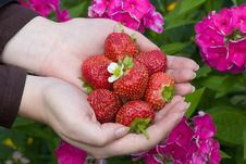Free Hands With Red Strawberries Royalty Free Stock Images - 3093229