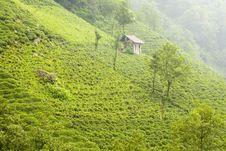 Free Tea Plants Royalty Free Stock Photos - 3093308