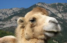 Free Proud Camel Stock Photo - 3093920