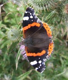 Free Butterfly On Thistle In UK Royalty Free Stock Image - 3093936