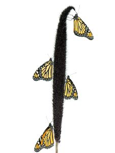 Free Monarch Butterflies Stock Photo - 3094760