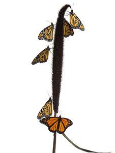 Free Monarch Butterflies Stock Photo - 3094770