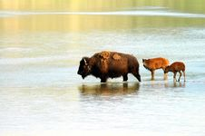 Free Bison Bison Royalty Free Stock Image - 3095606