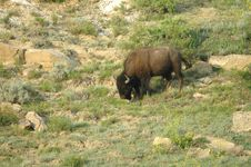 Free Bison Grazing Stock Photography - 3095692