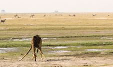 Giraffe Drinking In Chobe Stock Photography