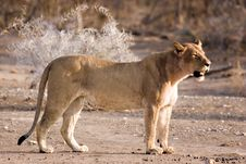 Free Lioness In Tuli Stock Image - 3096811