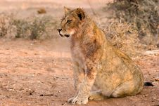 Free Lion Cub Royalty Free Stock Image - 3096816