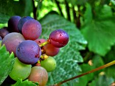 Free Red And Green Wine Grapes Royalty Free Stock Photo - 3097255