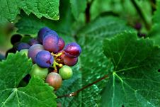 Free Red And Green Wine Grapes Stock Photography - 3097312