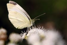 Free Sulpher Butterfly Royalty Free Stock Photo - 3098425