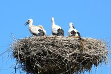 Free Nesting Storks Stock Photos - 3098733