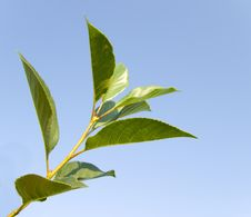 Free Green Leaves Of A Cherry 2 Stock Images - 3099674