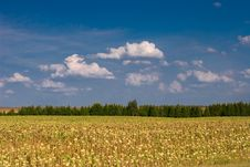 Free Summer Landscape - Sunflowers Stock Photo - 3099720
