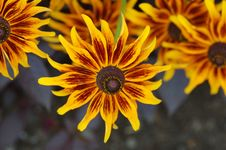 Free Rudbeckia Flowers Stock Photography - 3099892