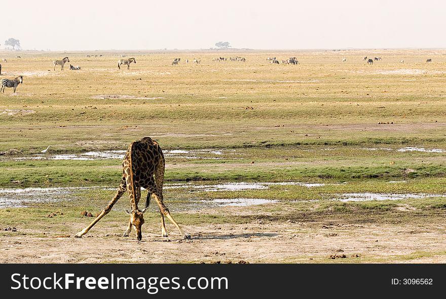 Giraffe drinking in Chobe