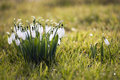 Free Snowdrops Stock Photography - 30903342