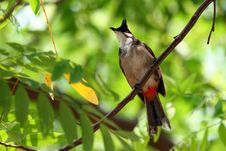 The Red-whiskered Bulbul Asian Bird Stock Image