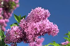 Free Beautiful Lilac Flowers Royalty Free Stock Photos - 30903198