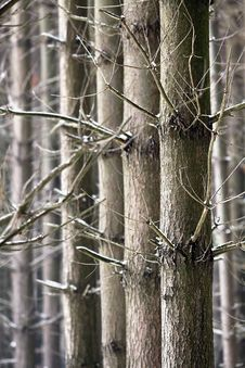 Free Parallel Trees In Winter Royalty Free Stock Images - 30903349