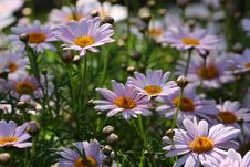 Free Daisy Stock Images - 30904684