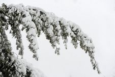Free Tree Branch Covered With Snow Stock Image - 30908941