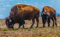 Free Pair Of Bison 2 Royalty Free Stock Image - 30912856