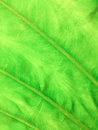 Free Texture Of Green Leaf Stock Photo - 30915260