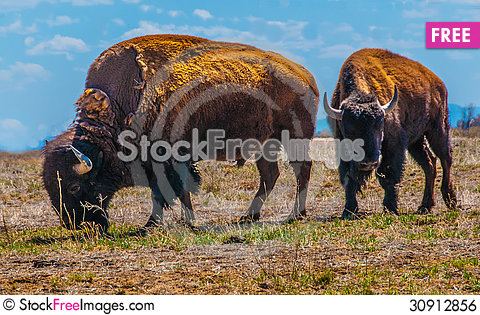 Free Pair Of Bison Royalty Free Stock Image - 30912856