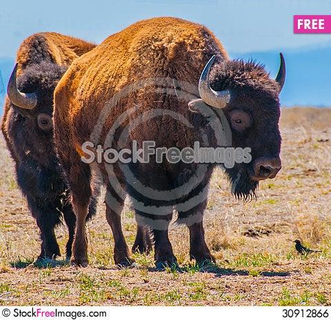 Free Pair Of Bison Royalty Free Stock Image - 30912866