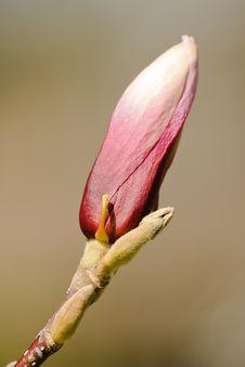 Free Magnolia Stock Image - 30911381