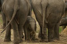Free Elephant Baby Hiding Stock Image - 30911941