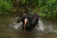 Free Black Ibis In Pool Royalty Free Stock Photos - 30912188