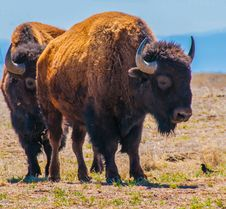 Pair Of Bison Royalty Free Stock Image