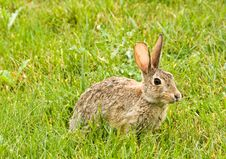 Hare In Field Royalty Free Stock Photo