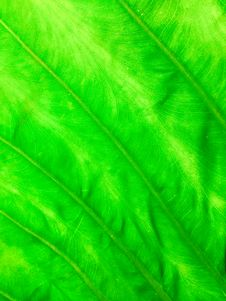 Free Texture Of Green Leaf Royalty Free Stock Photos - 30915178