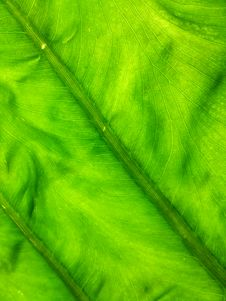 Free Texture Of Green Leaf Royalty Free Stock Photography - 30915227