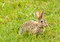 Free Hare In Field Royalty Free Stock Photo - 30912985
