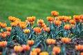 Free &x27;Orange Princess&x27; Tulip Stock Photos - 30921453