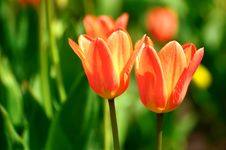 Free Two Red Tulips Stock Image - 30920971