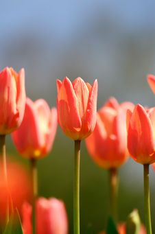 Free Red Tulips Royalty Free Stock Photography - 30920987