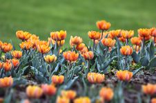 Free  Orange Princess  Tulip Stock Photos - 30921453