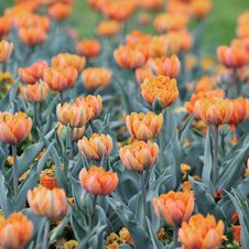 Free  Orange Princess  Tulip Royalty Free Stock Image - 30921486
