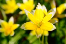 Free Yellow Star-of-Bethlehem Stock Image - 30924241