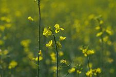 Free Rapeseed Flowers Close Royalty Free Stock Photo - 30927845