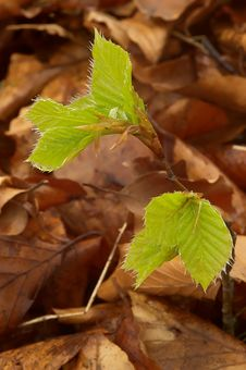 Free Beech Leaves In The Spring Royalty Free Stock Images - 30929099