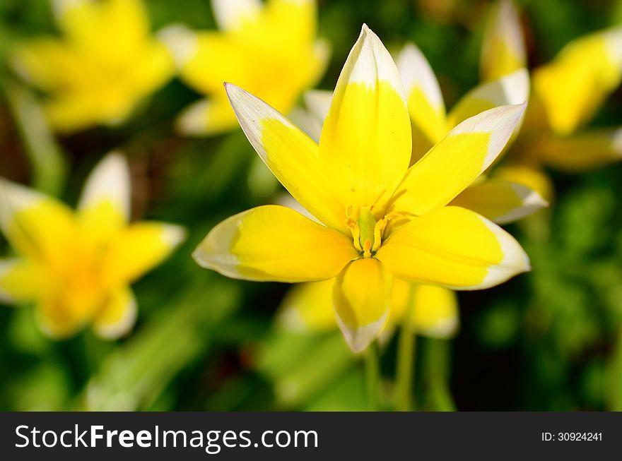 Yellow Star-of-Bethlehem